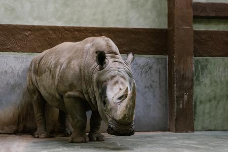 Foto de front view of endangered white rhino standing at zoo - Imagen libre de derechos