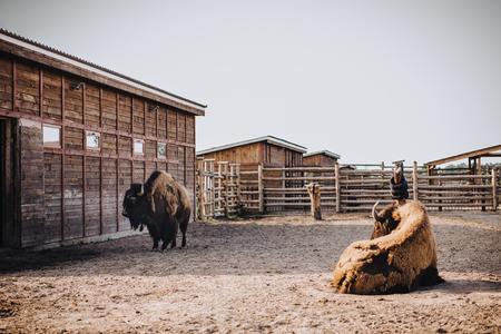 Foto de front view of two bisons in corral at zoo - Imagen libre de derechos