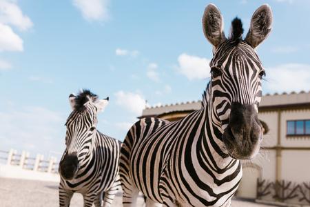 Foto de closeup shot of two zebras grazing in corral at zoo - Imagen libre de derechos