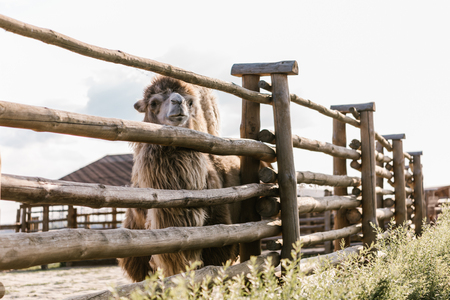 Foto de front view of camel standing near wooden fence in corral at zoo - Imagen libre de derechos