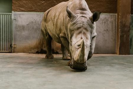 Foto de front view of endangered white rhino at zoo - Imagen libre de derechos
