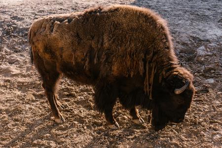 Foto de side view of bison grazing on ground at zoo - Imagen libre de derechos