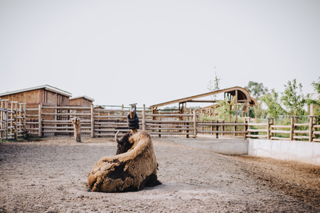 Foto de front view of bison laying on ground in corral at zoo - Imagen libre de derechos