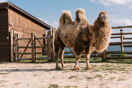 Foto de close up shot of two humped camel standing in corral at zoo - Imagen libre de derechos