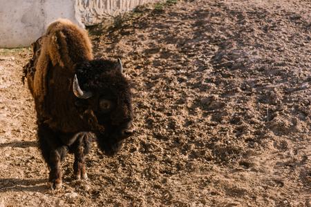 Foto de closeup view of bison grazing on ground at zoo - Imagen libre de derechos