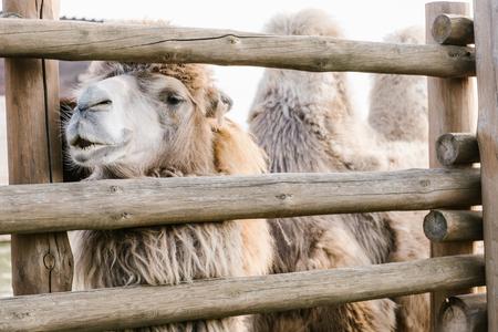 Foto de close up shot of two humped camel standing near wooden fence in corral at zoo - Imagen libre de derechos