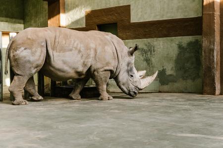 Foto de side view of endangered white rhino at zoo - Imagen libre de derechos
