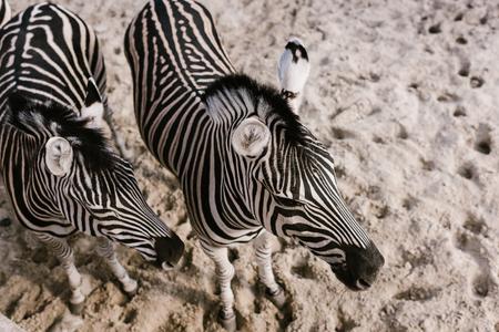 Foto de high angle view of two zebras grazing on ground at zoo - Imagen libre de derechos