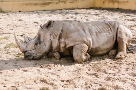 Foto de closeup view of white rhino laying on sand at zoo - Imagen libre de derechos