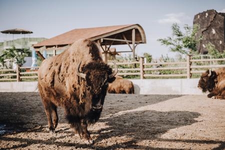 Foto de close up view of bisons grazing in corral at zoo - Imagen libre de derechos