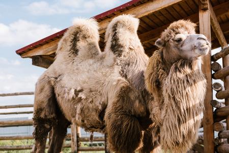 Foto de closeup view of two humped camel standing in corral at zoo - Imagen libre de derechos