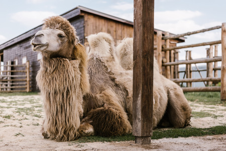 Foto de close up view of two humped camel sitting on ground in corral at zoo - Imagen libre de derechos