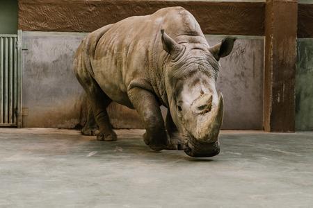 Foto de closeup view of endangered white rhino at zoo - Imagen libre de derechos
