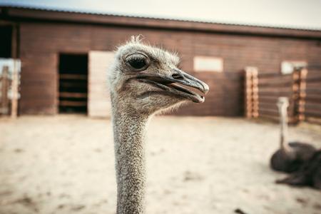 Foto de closeup shot of ostrich muzzle on blurred background in corral at zoo - Imagen libre de derechos