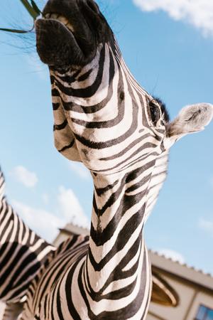 Foto de low angle view of zebra muzzle against blue cloudy sky at zoo - Imagen libre de derechos