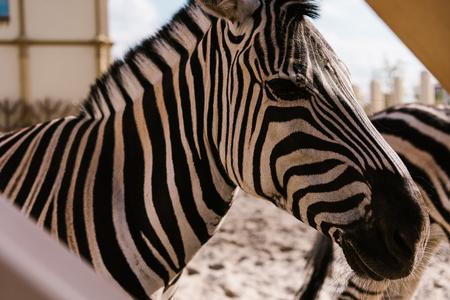 Foto de side view of zebra standing in corral at zoo - Imagen libre de derechos