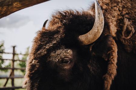 Foto de close up view of bison muzzle in corral at zoo - Imagen libre de derechos