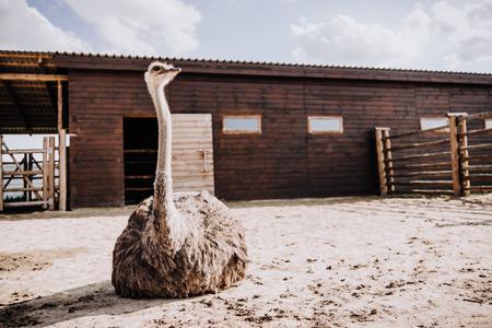 Foto de closeup view of ostrich sitting on ground in corral at zoo - Imagen libre de derechos