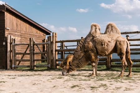 Foto de side view of two humped camel eating grass in corral at zoo - Imagen libre de derechos