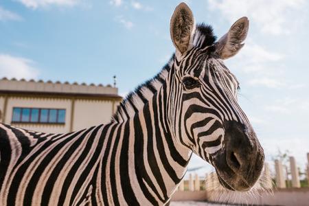 Foto de close up view of zebra grazing in corral at zoo - Imagen libre de derechos