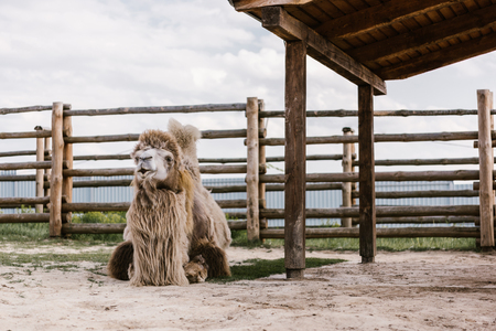 Foto de front view of two humped camel sitting on ground in front of wooden fence in corral at zoo - Imagen libre de derechos