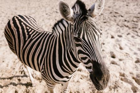 Foto de high angle view of zebra standing on ground at zoo - Imagen libre de derechos