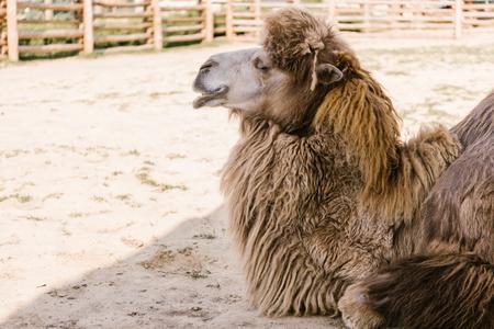 Foto de side view of camel sitting on ground in corral at zoo - Imagen libre de derechos