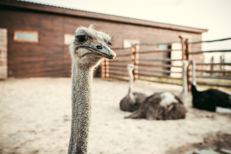 Foto de closeup view of ostrich muzzle and other ostriches sitting behind in corral at zoo - Imagen libre de derechos