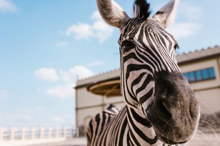 Foto de close up view of zebra standing on blurred background at zoo - Imagen libre de derechos