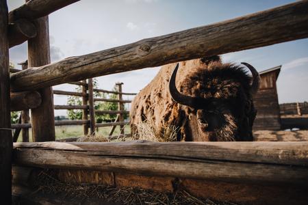 Foto de close up view of bison eating dry grass in corral at zoo - Imagen libre de derechos