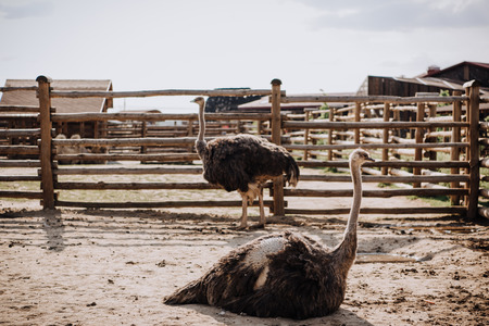 Foto de close up view of two ostriches in corral at zoo - Imagen libre de derechos