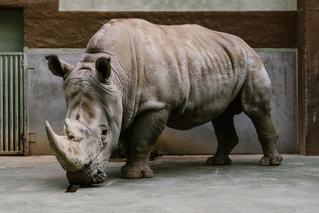 Foto de close up shot of endangered white rhino standing at zoo - Imagen libre de derechos
