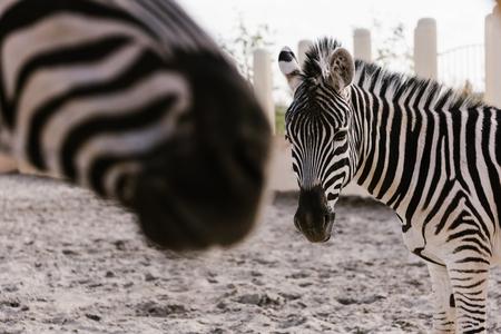 Foto de close up view of two zebras grazing on ground in corral at zoo - Imagen libre de derechos