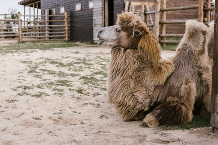 Foto de side view of two camel laying on ground in corral at zoo - Imagen libre de derechos