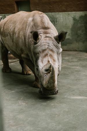 Foto de closeup shot of endangered white rhino at zoo - Imagen libre de derechos