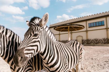 Foto de close up view of two zebras grazing in corral at zoo - Imagen libre de derechos