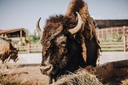 Foto de close up view of bison grazing in corral at zoo - Imagen libre de derechos