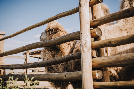 Foto de side view of two humped camel standing near wooden fence in corral at zoo - Imagen libre de derechos