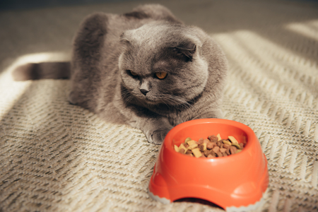 Photo for scottish fold cat with cat food in red bowl - Royalty Free Image