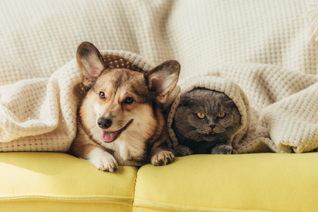 Foto de funny pets lying under blanket on sofa - Imagen libre de derechos