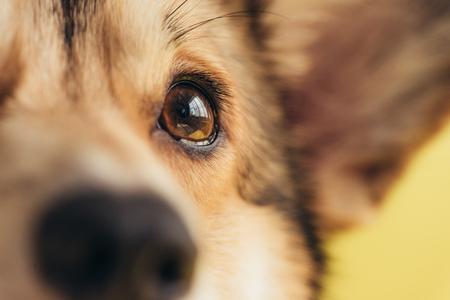 Photo for close up of eye of pembroke welsh corgi dog - Royalty Free Image