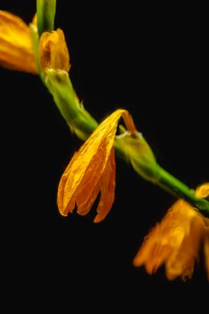 Foto de close-up view of orange faded lily flowers isolated on black - Imagen libre de derechos