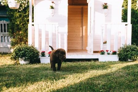 Foto de close up view of cute little labrador puppy on green grass - Imagen libre de derechos