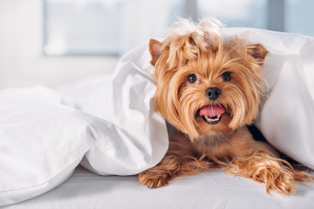 Photo pour close up view of cute little yorkshire terrier lying on bed covered with blanket - image libre de droit