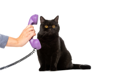 Photo for partial view of woman giving telephone tube to cute black british shorthair cat isolated on white background - Royalty Free Image