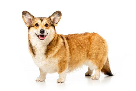 Foto de cute welsh corgi pembroke isolated on white background - Imagen libre de derechos