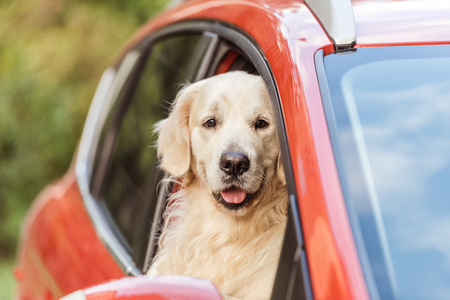 Foto de cute funny retriever dog sitting in red car and looking at camera through window - Imagen libre de derechos