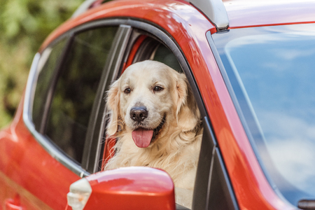 Foto de beautiful golden retriever dog sitting in red car and looking at camera through window - Imagen libre de derechos