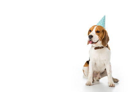 Photo pour beagle dog in party cone sticking tongue out isolated on white - image libre de droit