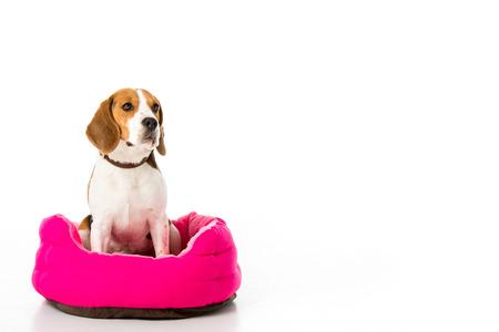 Foto de adorable beagle dog sitting on pink mattress isolated on white - Imagen libre de derechos